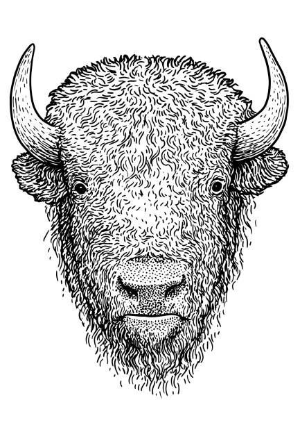 Bison illustration, drawing, engraving, ink, line art, vector Illustration, what made by ink and pencil on paper, then it was digitalized. american bison stock illustrations