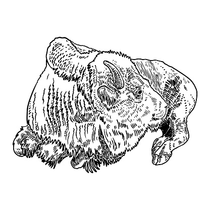 Bison Native American and full body. Buffalo hand drawing. Bull face, spiritual symbol and tribal animal. Symbol of power and strength. Travel and adventure vector.