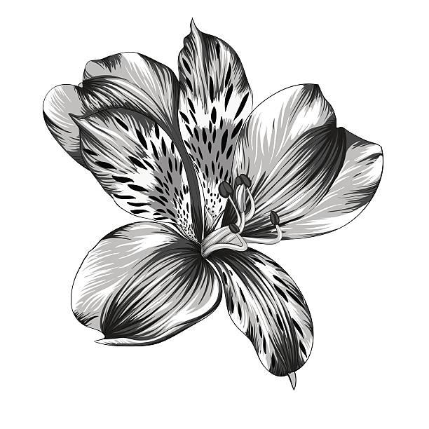 schwarze und weiße inkalilie blume isoliert mit wasserfarben-effekt - inkalilie stock-grafiken, -clipart, -cartoons und -symbole
