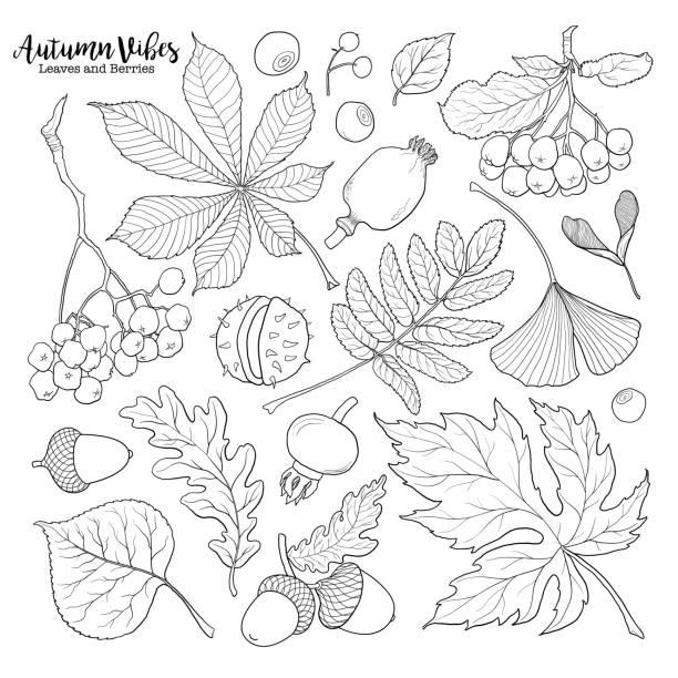 Black and white autumn falling leaves and berries Set of hand drawn black and white autumn falling leaves and berries, sketch style vector illustration isolated on white background. Hand drawn leaves and berries - rowan, chestnut, oak, aspen, maple maple leaf illustrations stock illustrations