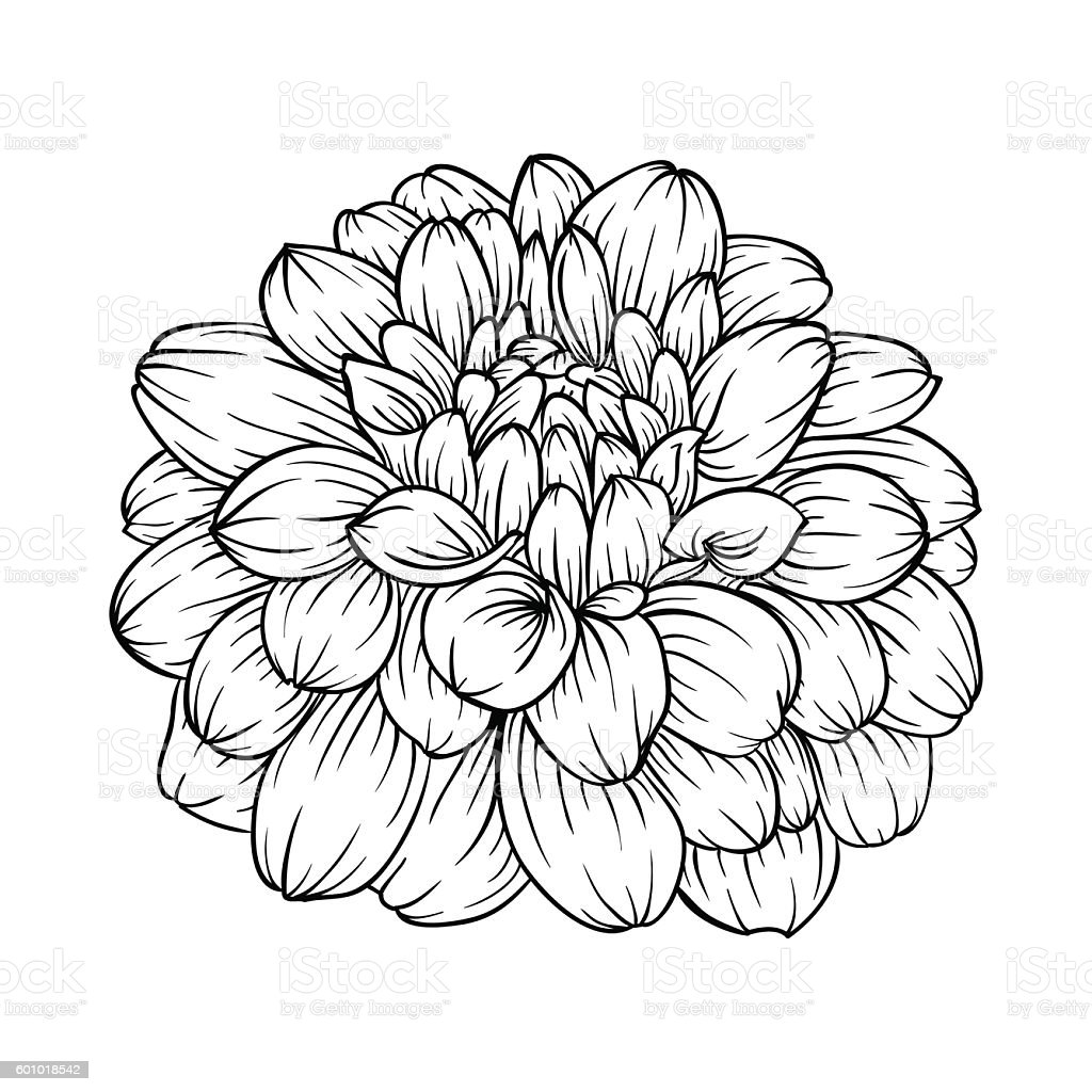 Black And White Dahlia Flower Isolated On Background Stock Vector