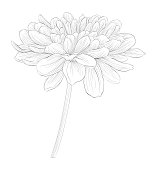 black and white dahlia flower isolated on white background.