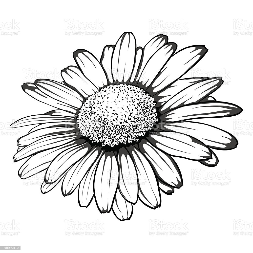 Daisy Tattoo Outline: Black And White Daisy Flower Isolated Stock Illustration