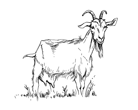 Black and white drawing of a goat on a white background.