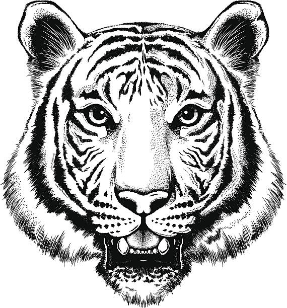 black and white illustration of a portrait of a tiger - tiger stock illustrations, clip art, cartoons, & icons