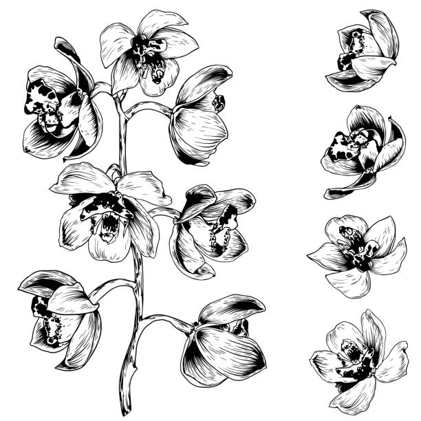 Orchid Flower Graphic Art Black White Isolated Sketch ...