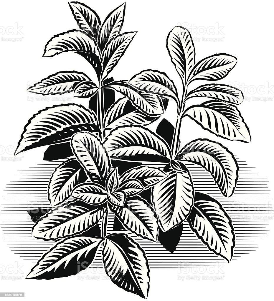 Black and white outline illustration of peppermint plant royalty-free stock vector art
