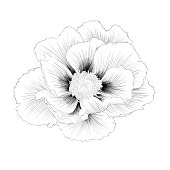 black and white peony flower isolated