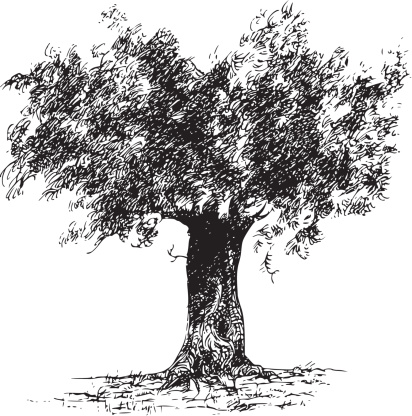 A black and white picture of an olive tree