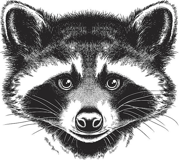 Best Raccoon Illustrations, Royalty-Free Vector Graphics
