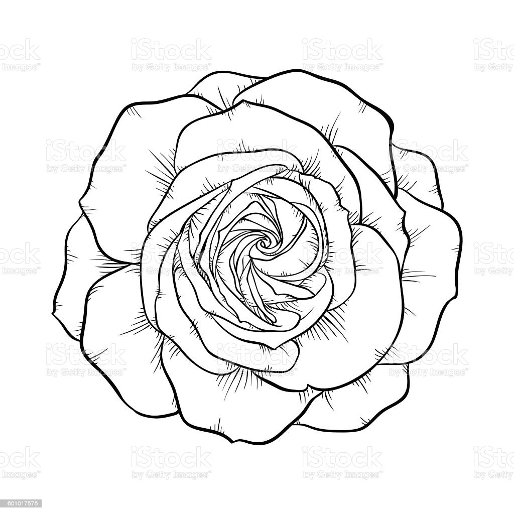 Black And White Rose Isolated On White Background Stock Vector Art & More Images of Abstract ...