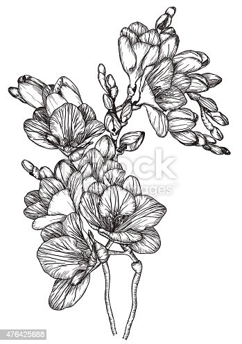istock Black and white sketch of Beautiful spring freesias 476425688