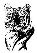 Black and white tiger portrait vector illustration. Vector realistic animal tiger.