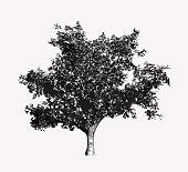 Monochrome vintage engraving tree illustration isolated on white background