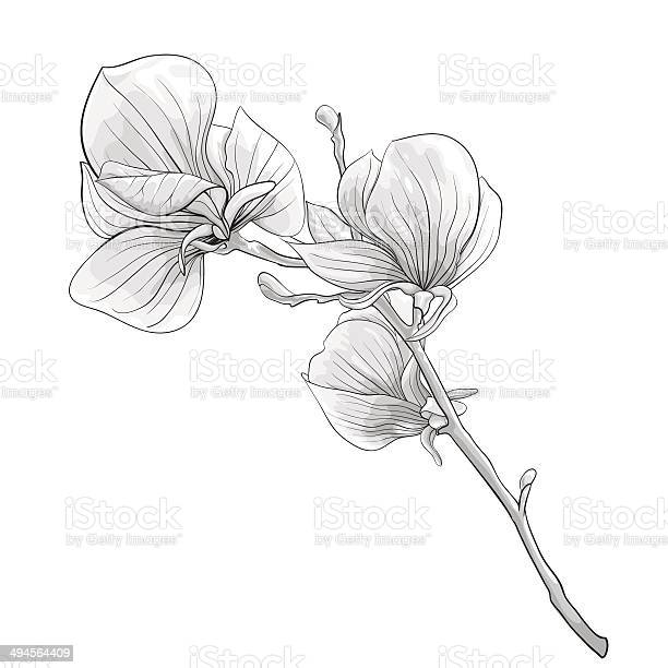 Black and white twig blossoming magnolia tree vector id494564409?b=1&k=6&m=494564409&s=612x612&h=3idipfw2ajw85f3ujvvt9sguvcrgr4ndmxjfifsn ik=