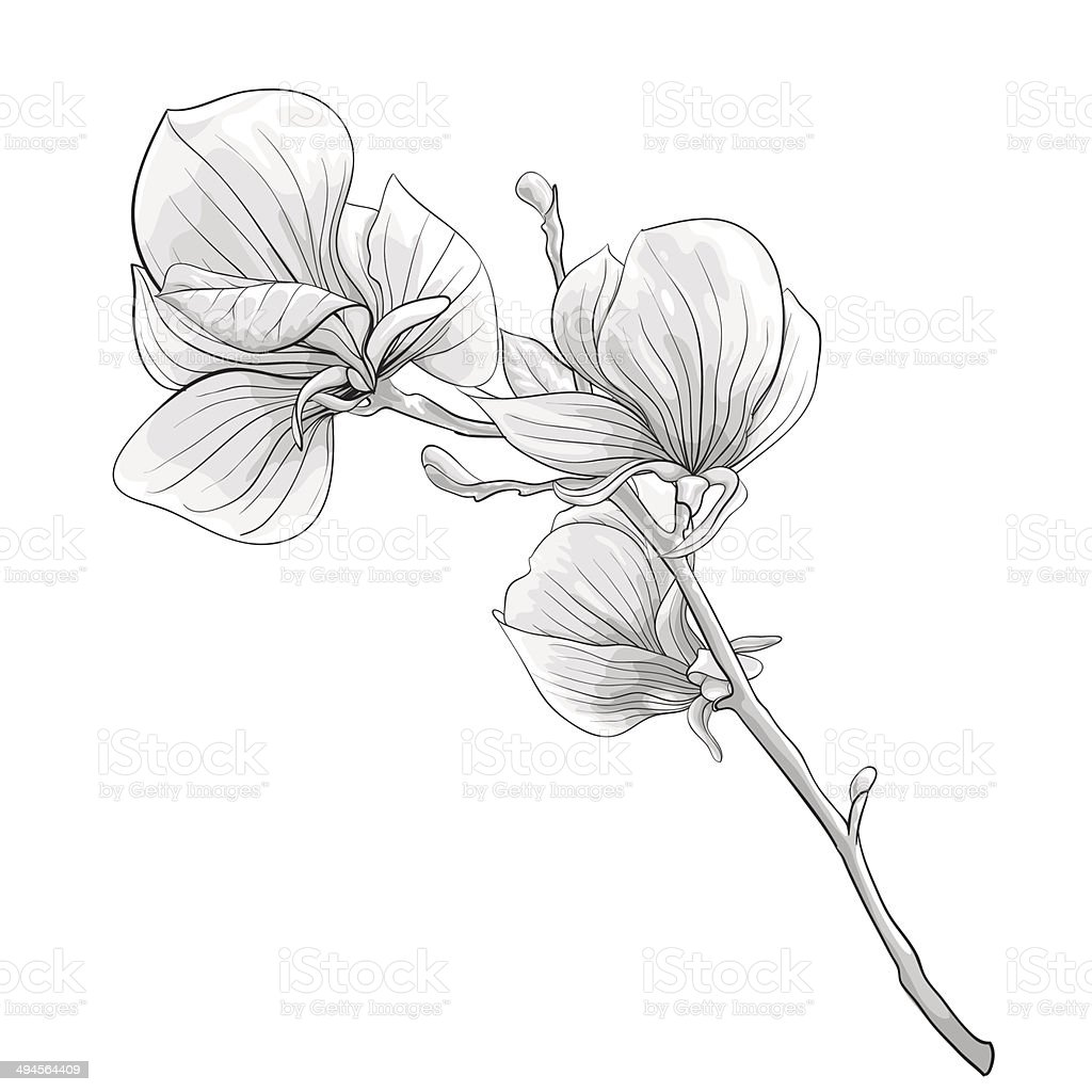 black and white twig blossoming magnolia tree. vector art illustration