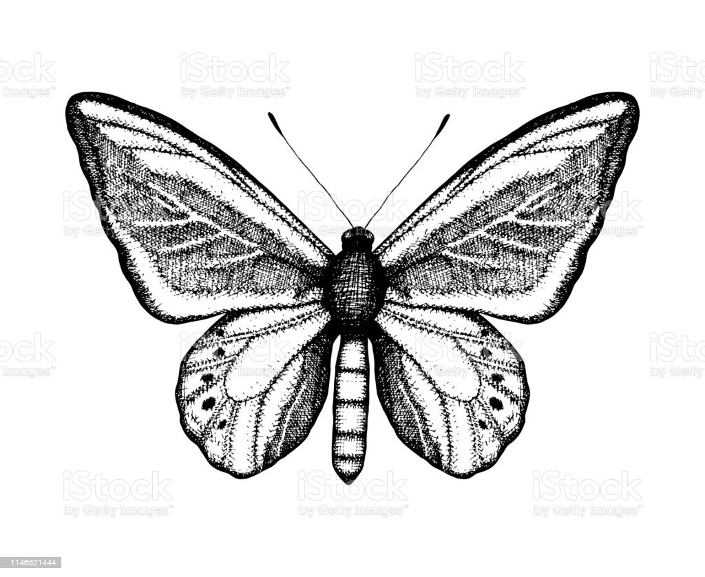 Black and white vector illustration of a butterfly hand drawn insect sketch detailed graphic drawing of wall brown in vintage style stock illustration