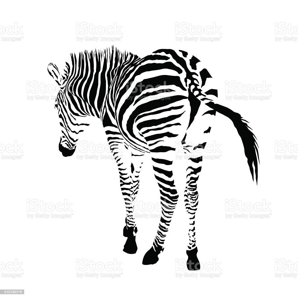 白黒ゼブラ絶縁動物ベクトルイラストレーション のイラスト素材