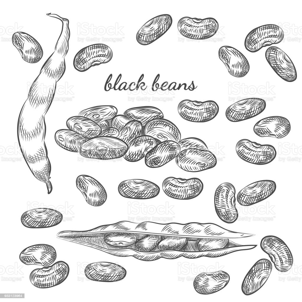 Black beans hand drawn sketch on white background. vector art illustration