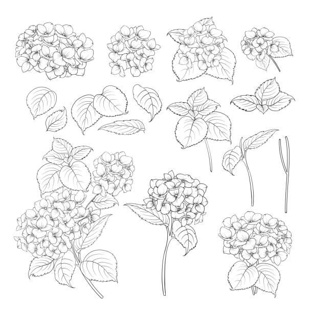 stockillustraties, clipart, cartoons en iconen met zwarte omtrek van hortensia - hortensia