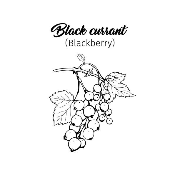 Black currant freehand ink pen illustration Black currant hand drawn vector illustration. Garden berry black and white sketch with inscription. Aromatic ripe summer dessert. Juicy Ribes nigrum freehand engraved branch. Poster design element black currant stock illustrations