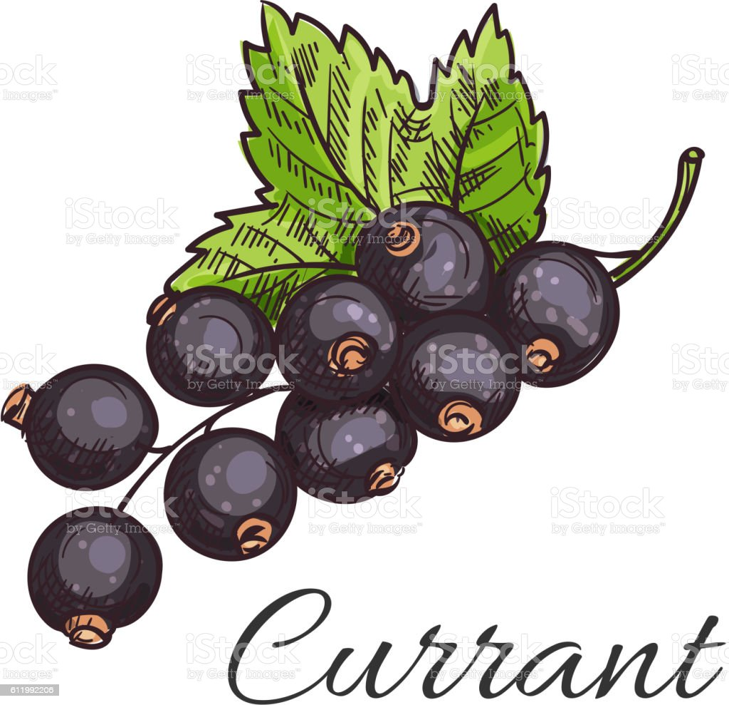 Black currant fruit branch with leaf sketch vector art illustration