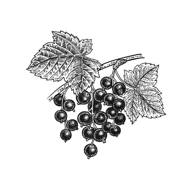 Black currant. Realistic hand drawing. Black currant berries. Realistic vector illustration plant. Hand drawing. Fruit, leaf, branch isolated on white background. Decoration products for health and beauty. Vintage black and white engraving black currant stock illustrations