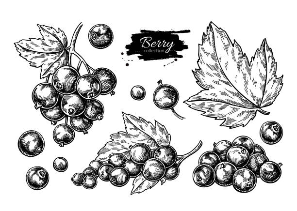 Black currant vector drawing. Isolated berry branch sketch on white background. Black currant vector drawing. Isolated berry branch sketch on white background.  Summer fruit engraved style illustration. Detailed hand drawn vegetarian food. Great for label, poster, print black currant stock illustrations