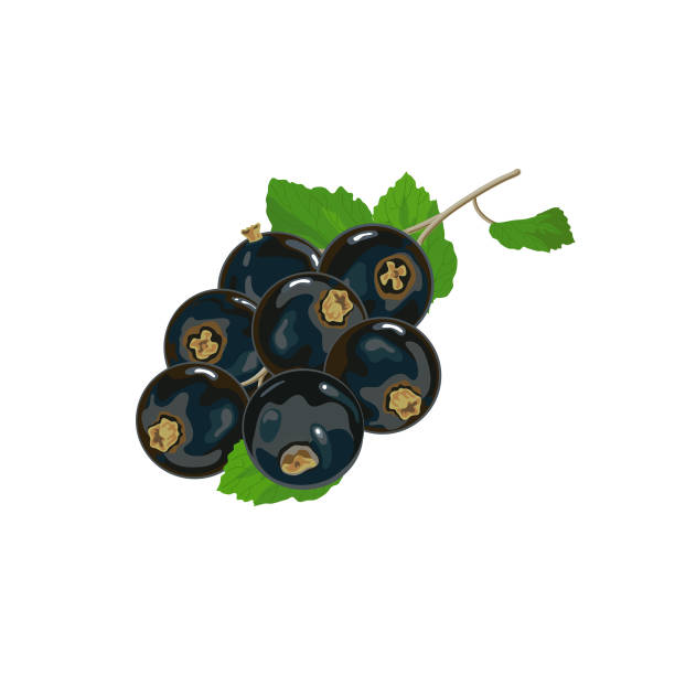 Black currants with leaves Black currants with leaves simplified reduced both colors and details for cardboard package white background black currant stock illustrations