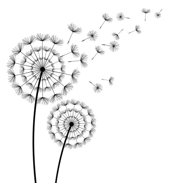 Black Dandelions With Flying Fluff On White Background Vector Art Illustration