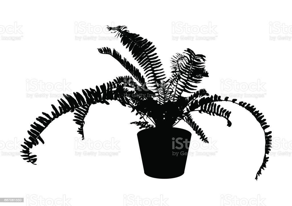 Fougère noir en pot pour lintérieur bureau et usine de maison