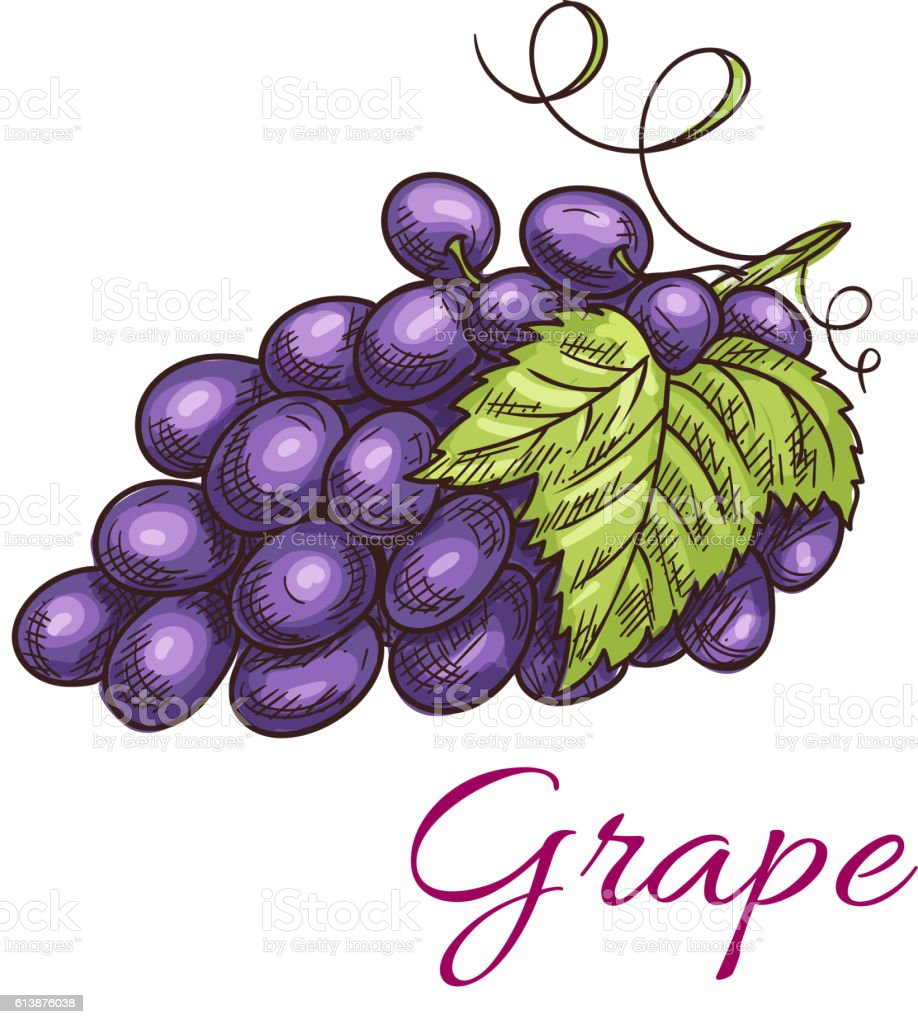 Black grape berries vector icon vector art illustration