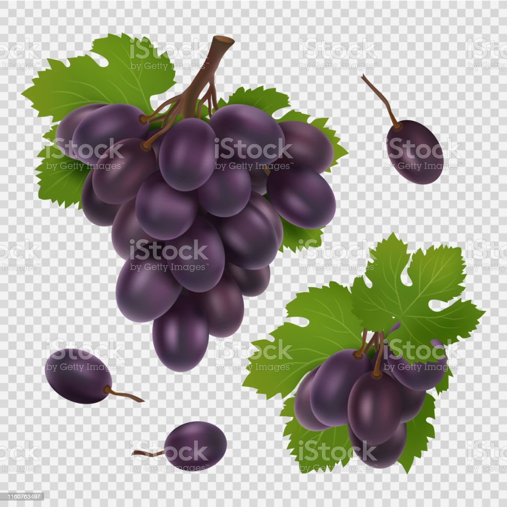 Black grape vector illustration. Bunch of grapes, leaves and berries...