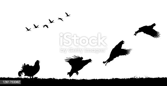 Black grouse cocks take off in field. Vector silhouette