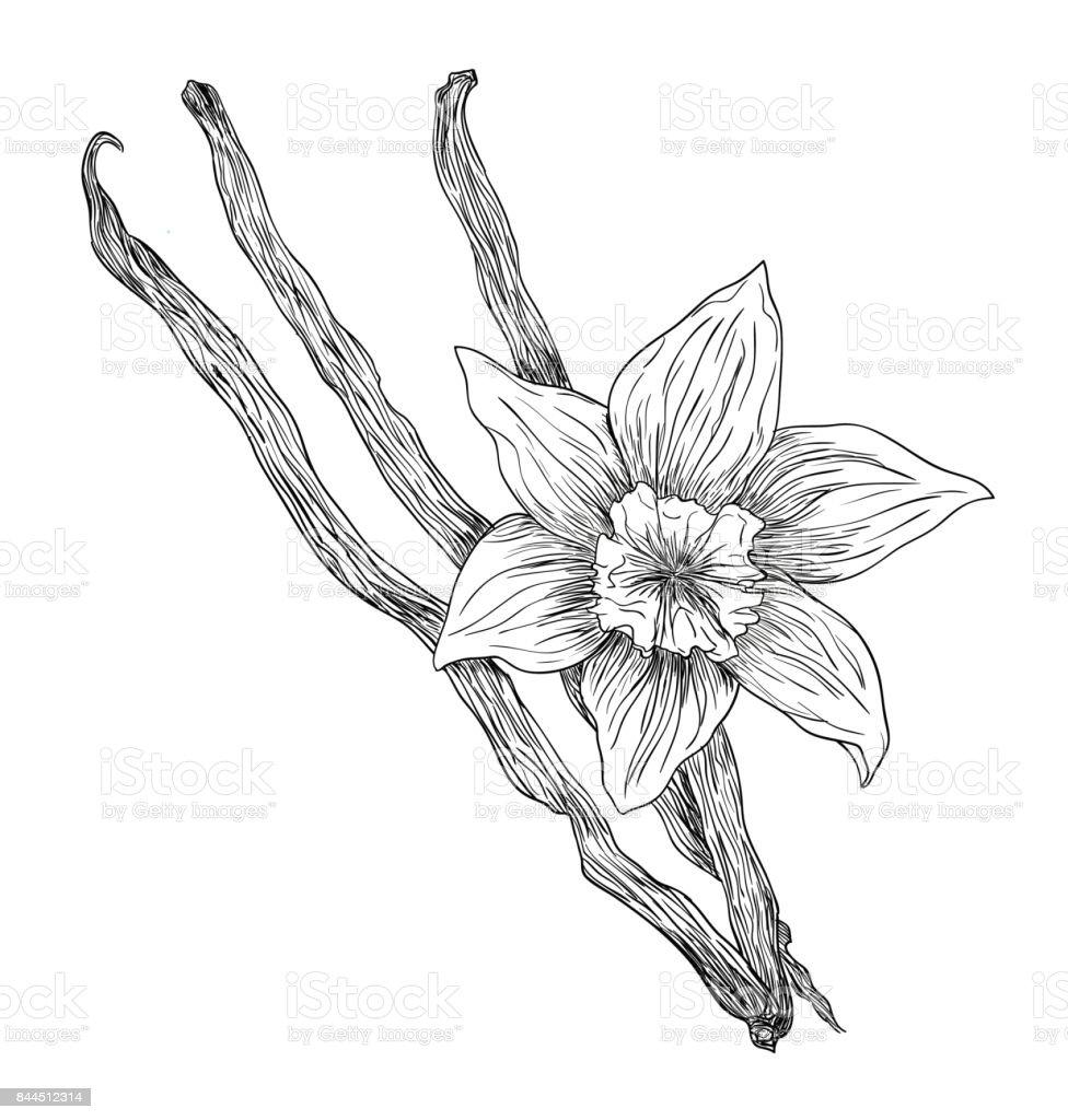 Encre noire vector fleurs vanille avec des tiges de dessin isol sur fond blanc vecteurs - Vanille dessin ...