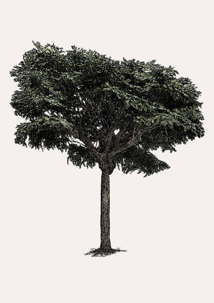 black wanderheuschrecke tree - robinie stock-grafiken, -clipart, -cartoons und -symbole