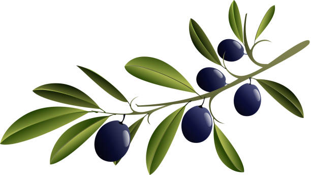 Black Olive Branch Illustration of an black olive branch. Used linear gradient only, no mesh. Elements grouped and layered for easy editing. High resolution jpg file 5000x3000.  olive branch stock illustrations