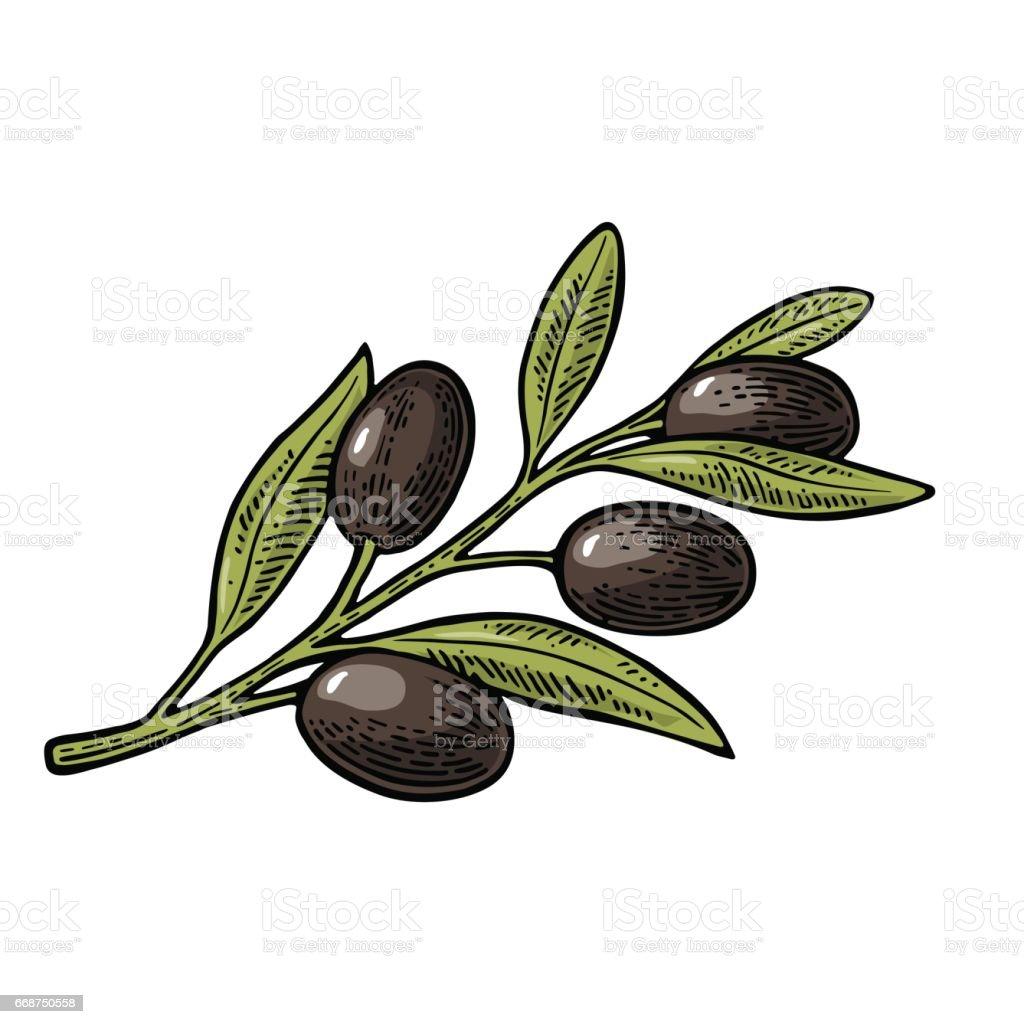 Black Olives on branch with leaves . Vintage vector engraving vector art illustration