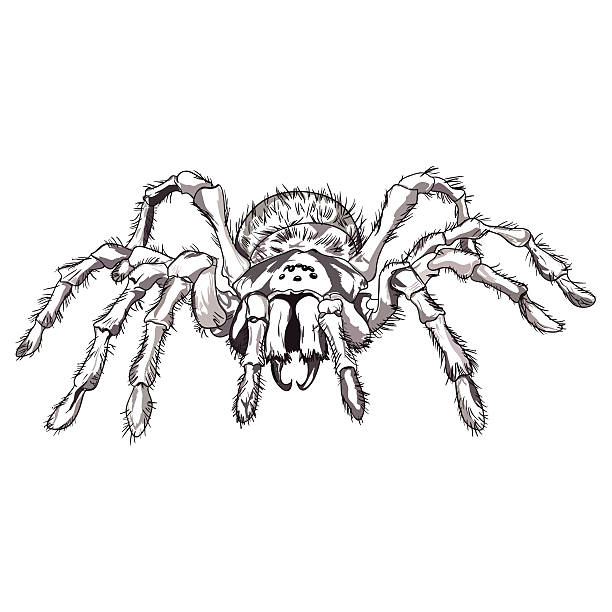 black spider animal - tarantula stock illustrations