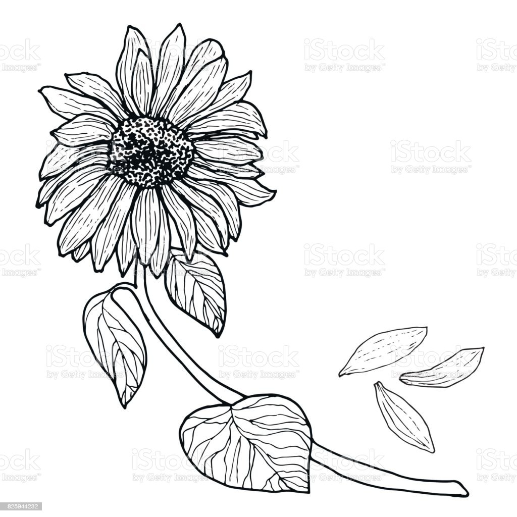 Black White Sunflower On A Branch With Leaves Royalty Free