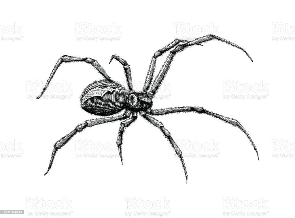 Black Widow Spider Hand Drawing Stock Illustration
