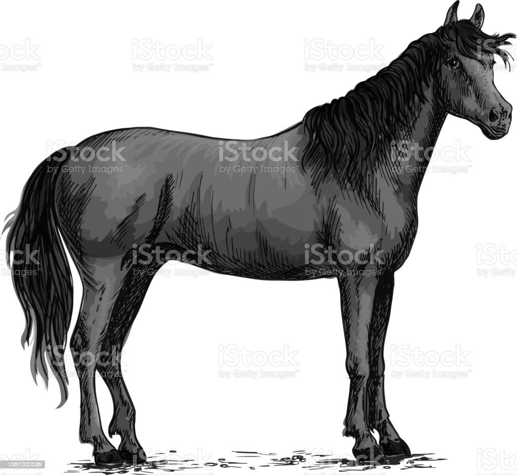 Black Wild Horse Standing Vector Sketch Stock Illustration Download Image Now Istock