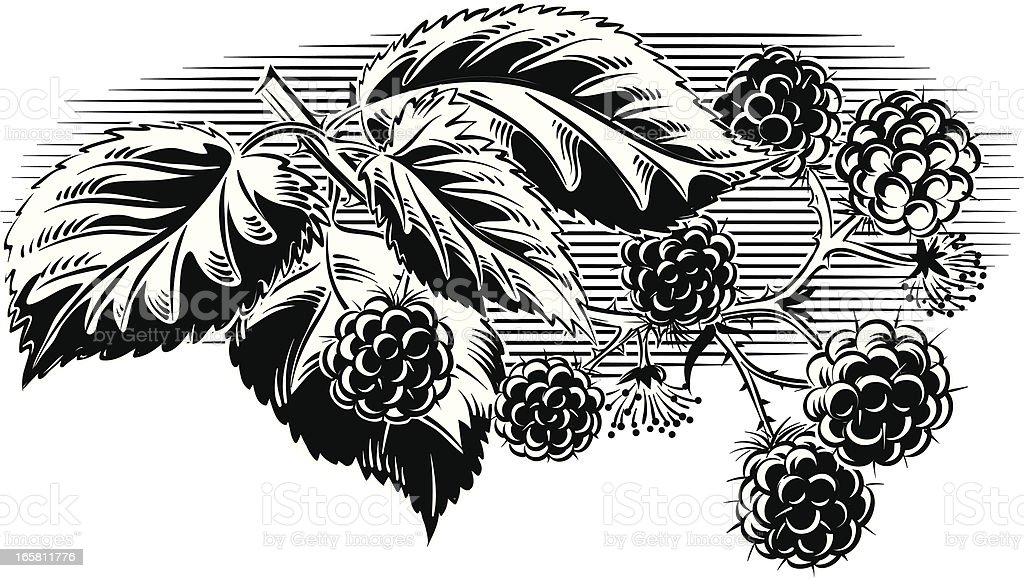 blackberry branch royalty-free blackberry branch stock vector art & more images of art product