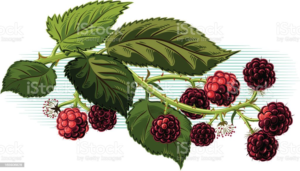 blackberry branch royalty-free stock vector art