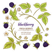 blackberry elements vector set on white background