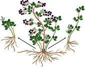 Blackberry vegetative reproduction scheme. Blackberry shrub with ripe berries, root system and green leaves isolated on white background