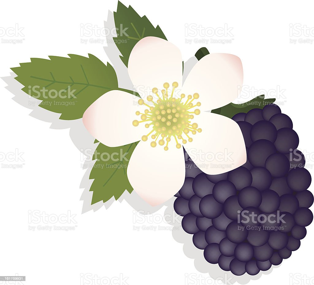 blackberry with flower. royalty-free stock vector art