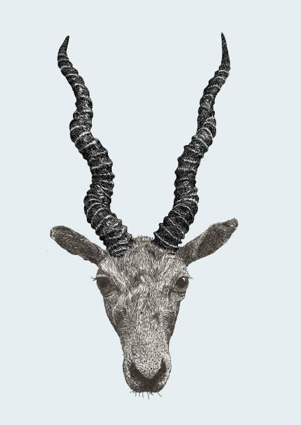 stockillustraties, clipart, cartoons en iconen met indische antilope antilope - antilope