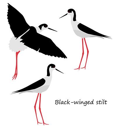 Black-winged stilt on white background