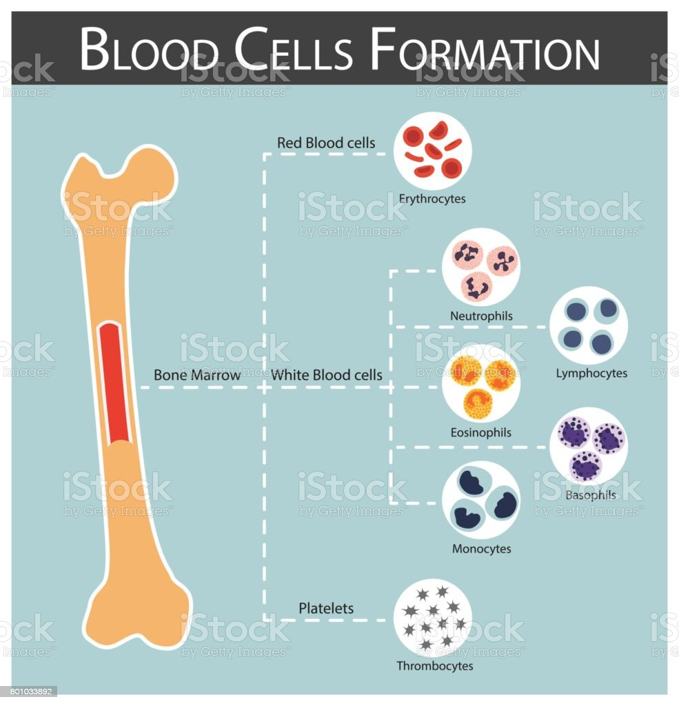 Blood cells Formation ( bone marrow produce blood cells series : erythrocytes , lymphocytes , neutrophils , monocytes , eosinophils , basophils , thrombocytes ) Haematology concept and infographics vector art illustration